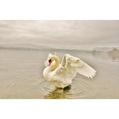 Swan spread